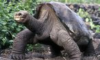 Lonesome George starb im Juni 2012 / Bild: (c) REUTERS (STRINGER)