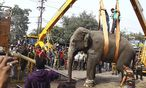 Der betäubte Elefant wird auf einen Truck geladen. / Bild: REUTERS