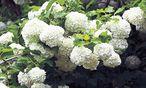 Beeindruckende Blüten als Blickfang im Frühling. / Bild: Ute Woltron