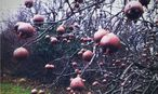 Die Mispeln hängen auch dann noch am Baum, wenn die Blätter längst abgefallen sind. / Bild: (c) Ute Woltron