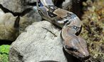 Boa constrictor (Archivbild) / Bild: APA/BARBARA GINDL