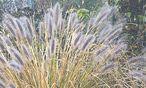Gräser sind die Gartenlaufstegmodels des Winters. / Bild: (c) Ute Woltron