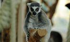 Sie, die nach den Schattengeistern der Toten benannt wurden, gibt es seit 60 Millionen Jahren auf Madagaskar, nur dort. Wie kamen sie hin?  / Bild: (c) Clemens Fabry