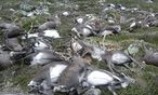 Mehr als 300 Rentiere kamen bei einem Unwetter ums Leben. / Bild: REUTERS