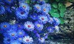Astern bieten einen farbenfrohen Anblick. / Bild: Ute Woltron