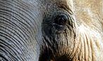 Dies ist nicht der Elefant des Kalifen. / Bild: EPA