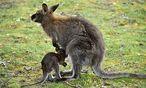 Zwischenfall mit  Känguru gefährdet Job / Bild: (c) APA/dpa/Uwe Zucchi (Uwe Zucchi)