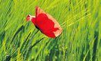 Strahlend rot auf dem Feld. Kaum gepflückt, lässt der Mohn seine roten Blütenblätter fallen. / Bild: Ute Woltron
