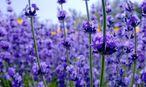 Lavendel / Bild: imago