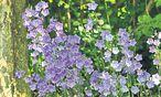 Im frühen Frühling warten die Gärtner ungeduldig: Wann tauchen die ersten Knospen auf? / Bild: (c) Ute Woltron