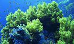 Korallen faszinieren durch ihre Schönheit – sie können aber auch für die Medizin genutzt werden. / Bild: (c)  Sealife Pharma