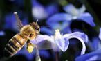 Bienen-Sterben: Auch in den USA werden Neonicotinoide zum Thema. / Bild: (c) EPA