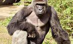 Harambe war 17 Jahre alt, als ein Kind in sein Revier im Zoo von Cincinnati fiel. Experten sind sicher, das Kind wäre gestorben, hätte man den Silberrücken nicht erschossen. / Bild: (c) REUTERS (HANDOUT)