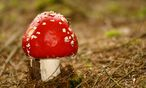 Fliegenpilz - Amanita muscaria / Bild: www.BilderBox.com