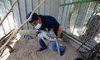 Ein Vier-Pfoten-Mitarbeiter trägt ein narkotisiertes Äffchen aus dem Gehege. Es soll es fernab des Gazastreifens besser haben. / Bild: (c) REUTERS (IBRAHEEM ABU MUSTAFA)