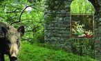 Ein Wildschwein vor dem Dianatempel / Bild: (c) Naturpark Sparbach