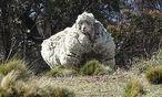 Das Riesenschaf nahe Canberra / Bild: Tammy Ven Dange/RSPCA