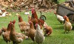 Mangelware Bio-Futter macht Bio-Huhn doppelt teuer / Bild: www.BilderBox.com