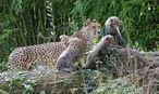 Auch der jüngere Drillings-Wurf befindet sich nun in der Außenanlage des Zoos. / Bild: APA/Tiergarten Schönbrunn/Norber
