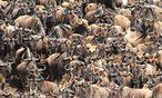 Wenn die Serengeti in Tansania abgeweidet ist, queren riesige Herden von Grasfressern den Mara-Fluss, um weiter nach Norden in die Masai Mara in Kenia zu gelangen. / Bild: Win Schumacher