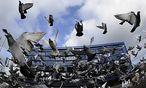 In Tierschützerkreisen sorgt das Verkochen einer Taube in Italien für Aufregung / Bild: REUTERS