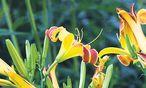 Lilien und Taglilien blühen jetzt und entschädigen für alles, was derzeit eben nicht blüht. / Bild: Ute Woltron