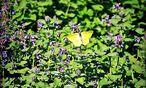 Zitronenfalter sind gefährdet – ein Faulbaum im Garten hilft ihnen. / Bild: Ute Woltron