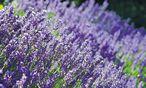 Mit dem richtigen Schnitt blüht der Lavendel nächstes Jahr wieder in voller Pracht. / Bild:  Ute Woltron