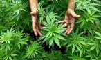 Cannabis Pflanzen aus denen auch Marihuana hergestellt wird / Bild: APA/Epa