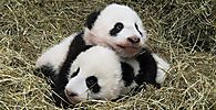 Giant panda twin cubs Fu Feng and Fu Ban are seen at Schoenbrunn Zoo in Vienna