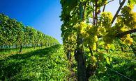 Dank der neuen Bewirtschaftungspflicht im Weinbaugesetz müssen Wiener Weingärten nun Weingärten bleiben. / Bild: (c) BilderBox