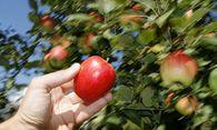 Apfelernte / Bild: EPA
