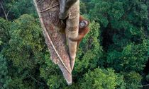 Bild: Tim Laman/ Wildlife Photographer of the Year""