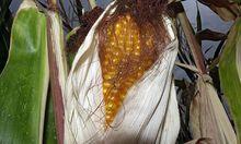 Wenn Pilze eine Maispflanze