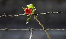 Rose auf dem Stacheldrahtzaun des KZ Auschwitz