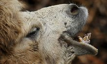 Kamel altirischer Zauberspruch