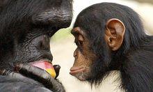 Unsere Vettern Schimpansen sind