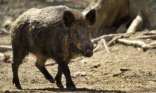Wildschwein Pool WienDonaustadt gerettet