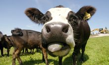 Rapsoel fressende Kuehe produzieren