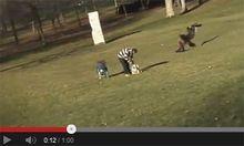 Steinadler packt Kind YouTubeVideo