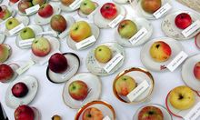 Äpfel: Der fabelhafte Mr.Cox