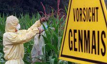 Archivbild: Wie gefährlich ist Genmais? Eine französische Studie sagt, dass er krebserregend ist.