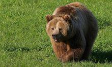 Archivbild: Braunbär