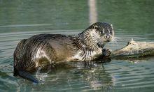 Fischer gegen Tierschützer: Emotionale Debatten um den Otter.