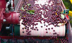 Fruchtflut. Heuer konnte man eine Rekordernte an Weichseln verzeichnen. / Bild: (c) Beigestellt