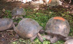 In Sicherheit. Je- denfalls halbwegs – markierte Riesenschildkröten. / Bild: (c) Beigestellt