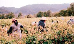 """Erntemonat. Vier Wochen lang werden die """"Roses de mai"""" geerntet. / Bild: (c) Beigestellt"""