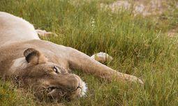 Satt. Löwin im Hwange-Nationalpark im Verdauungskoma. / Bild: (c) Monika Nutz