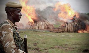 Als Maßnahme gegen den illegalen Handel wurde in Afrika Elfenbein verbrannt / Bild: (c) Anita Ladkani/Netflix