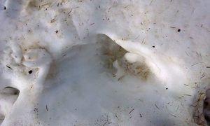 Bei dieser kürzlich in Osttirol fotografierten Spur handelt es sich um das Trittsiegel eines Braunbären, berichtet das Land Tirol. / Bild: Land Tirol